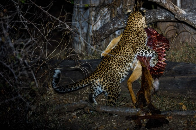 Leopard with kill at night in South Luangwa, Zambia