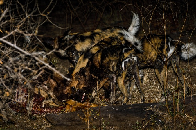Painted wolves, or wild dogs, eating leopard's kill