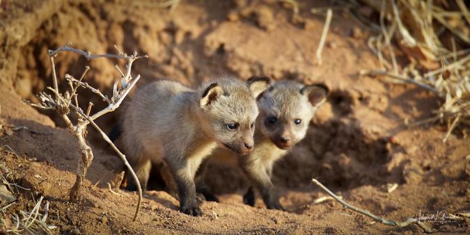 Bat-eared fox kits in Ruaha National Park, Tanzania
