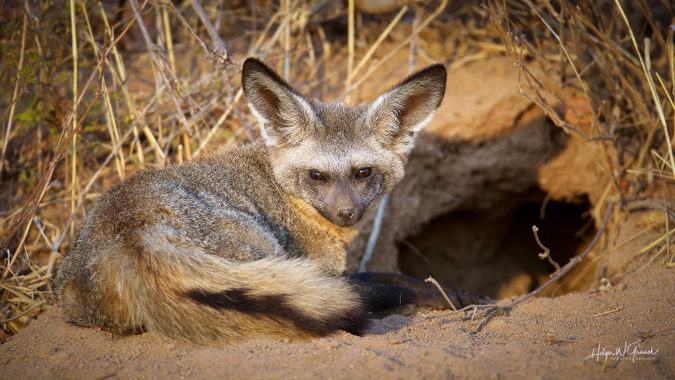 Bat-eared fox in Ruaha National Park, Tanzania