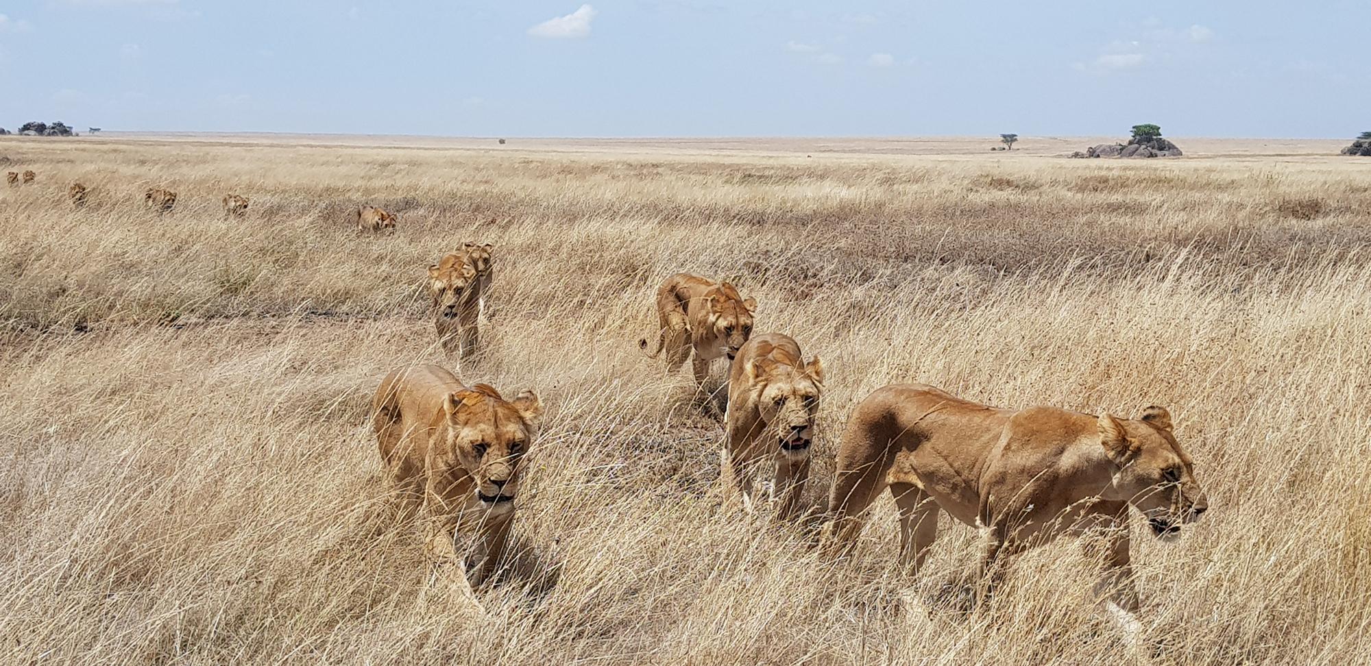 Pride of lions walking through grasslands of Serengeti