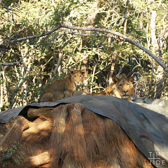 Two lions sitting on thatch at King Lewanika Camp