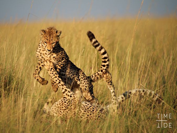Two cheetahs playing