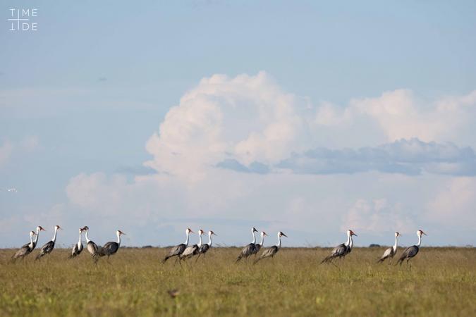 Wattled cranes in Liuwa Plain