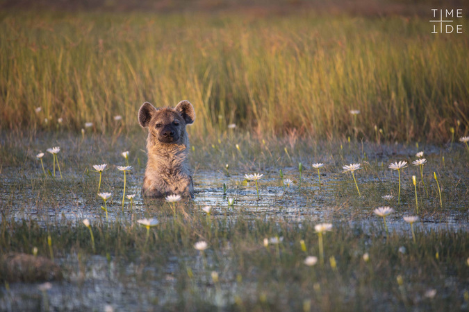 Hyena sitting in river cooling off