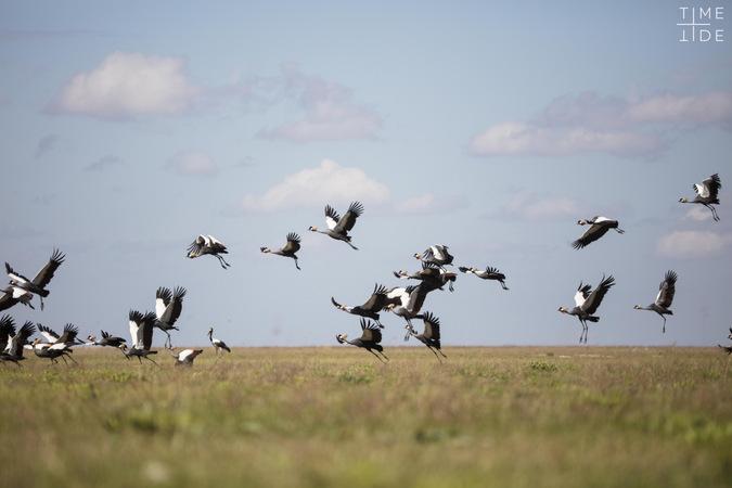 Wattled cranes taking off in Liuwa Plain