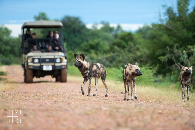 Wild dogs with game drive vehicle in background