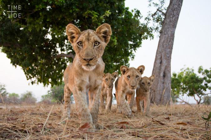 Inquisitive lion cubs