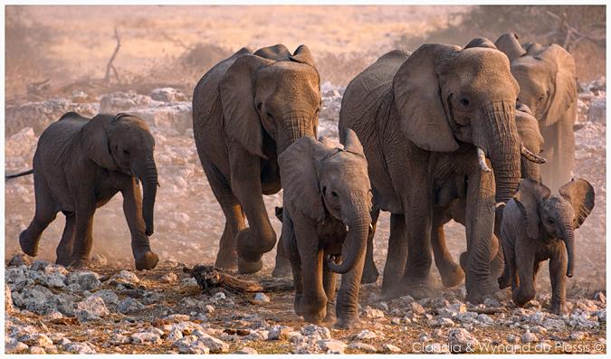 Elephant herd in Namibia