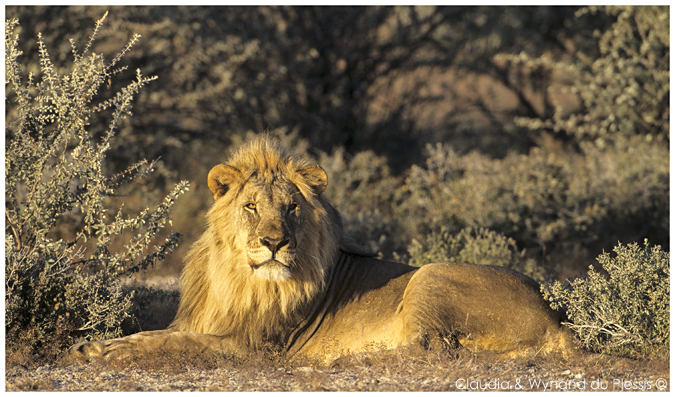 Male lion in Namibia