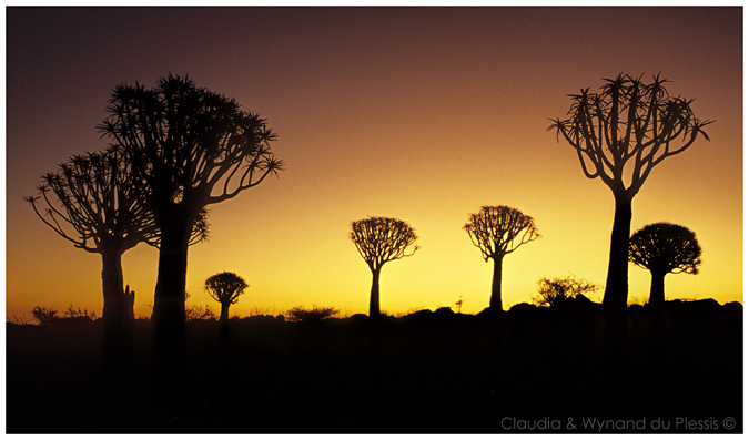 Quiver Tree Forest in southern Namibia