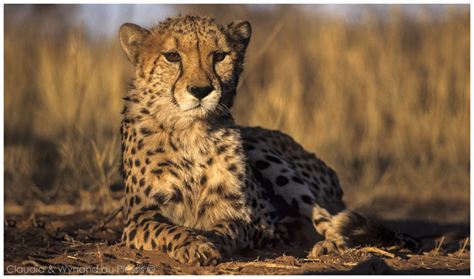 Cheetah resting in a reserve in Namibia