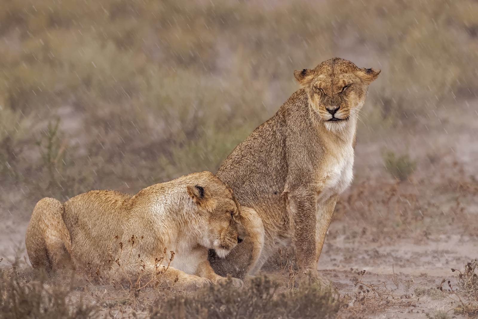 Lionesses sitting in the rain in Kgalagadi Transfrontier Park