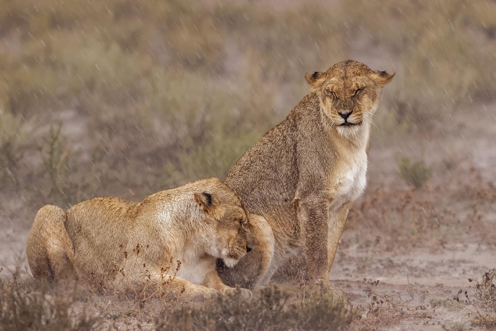 Lionesses sitting in the rain in Kgalagadi Transfrontier Park