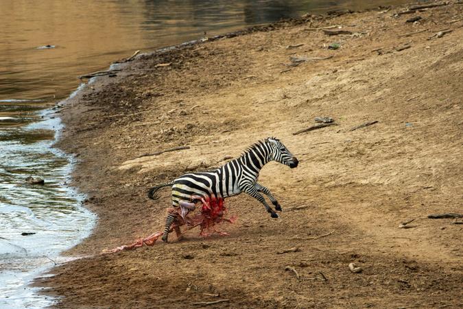 Zebra with guts spilling out after crocodile attack at Mara River, Kenya