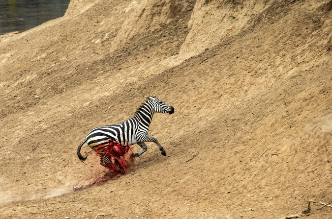 Zebra with fatal injury trying to ascend slope at Mara River, Kenya