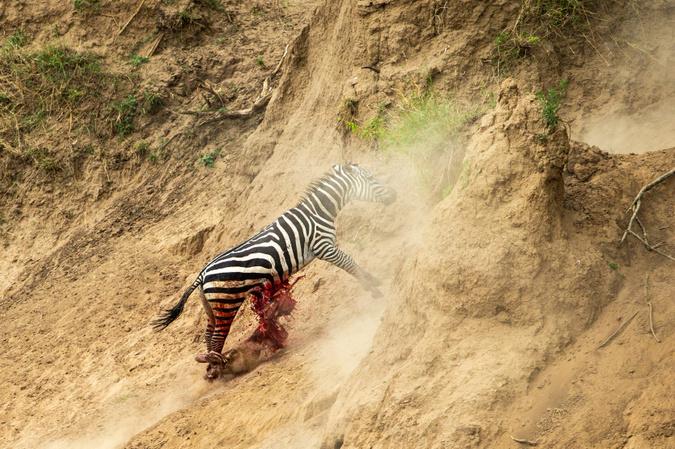 Zebra struggling to survive with fatal injuries at Mara River crossing, Kenya