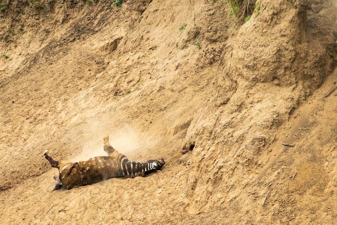 Zebra dies after fatal injury at Mara River crossing, Kenya