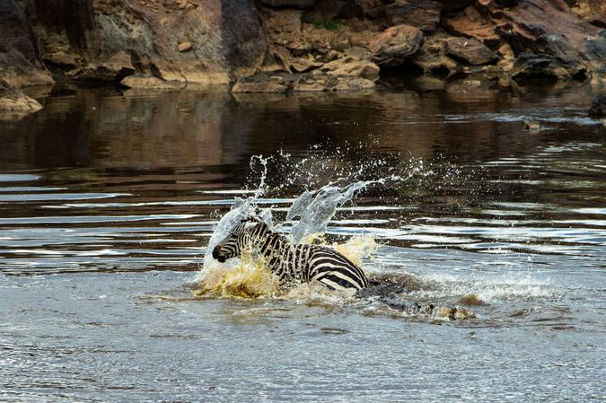 Crocodile attacks zebra in Mara River, Kenya