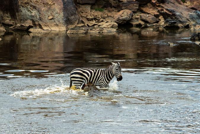 Crocodile bites zebra's stomach in Mara River, Kenya