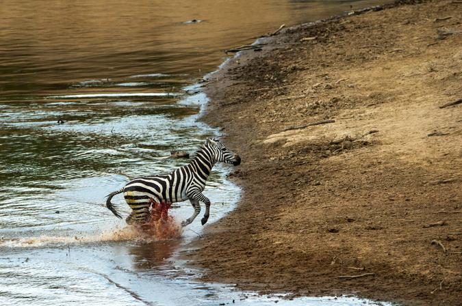 Zebra with fatal injury to stomach at Mara River crossing, Kenya