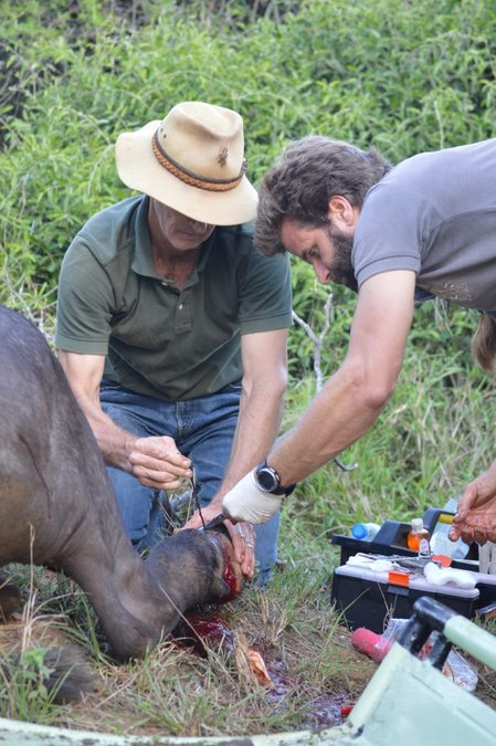 Removing a snare from a buffalo's leg