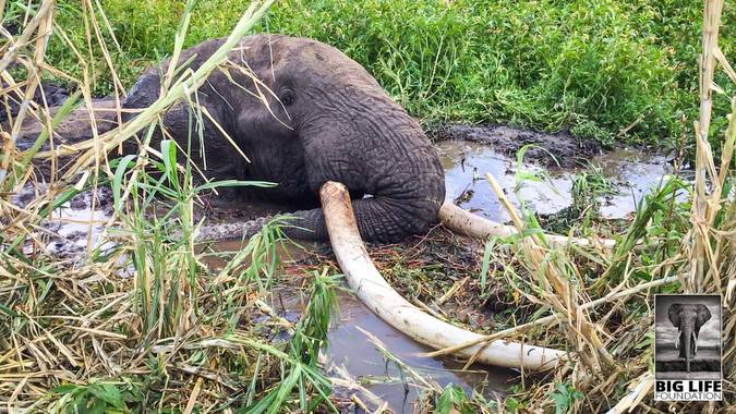 Tim, the big tusker, stuck in the mud