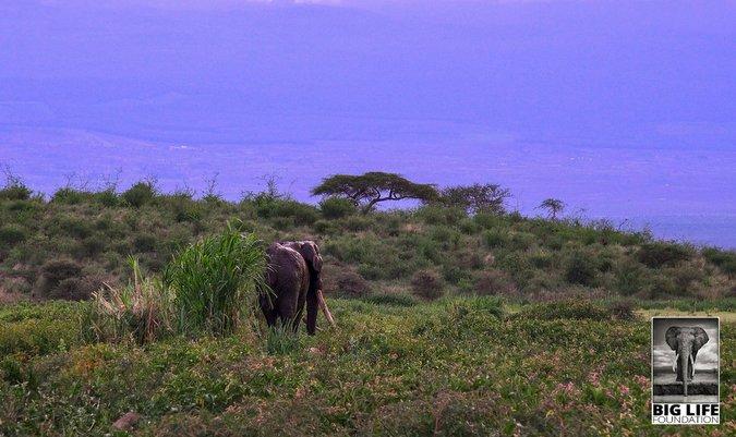 Tim, the big tusker, walks free