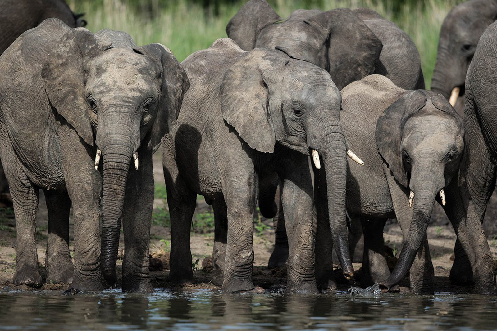 A herd of elephants take a drink in Kafue National Park in Zambia