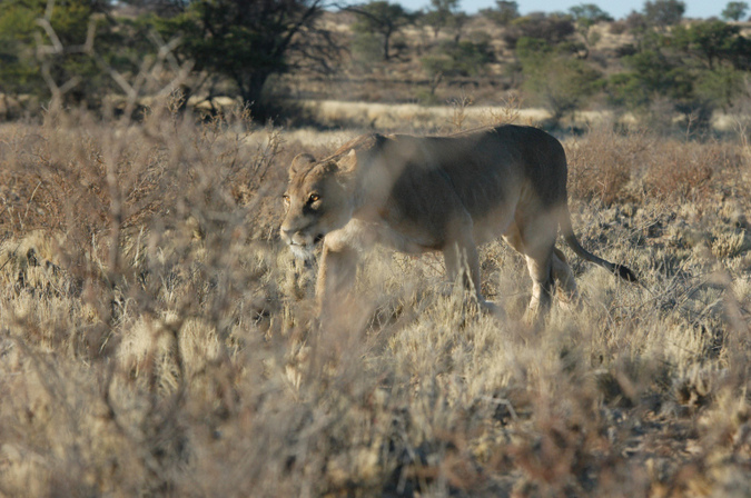 A lioness on the prowl in the Kgalagadi Transfrontier Park