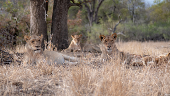 Lionesses lying down