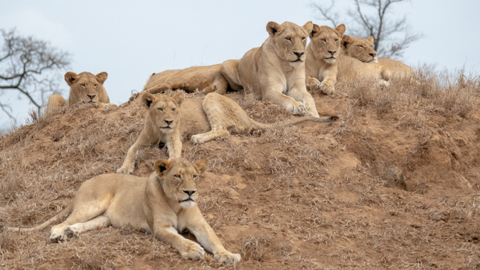 Lion pride with lionesses and cubs