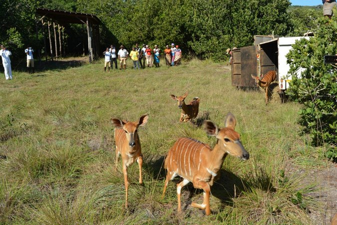 Nyala released into Maputo Special Reserve