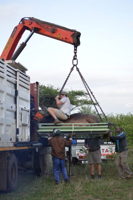 Uploading buffalo for translocation to Maputo Special Reserve