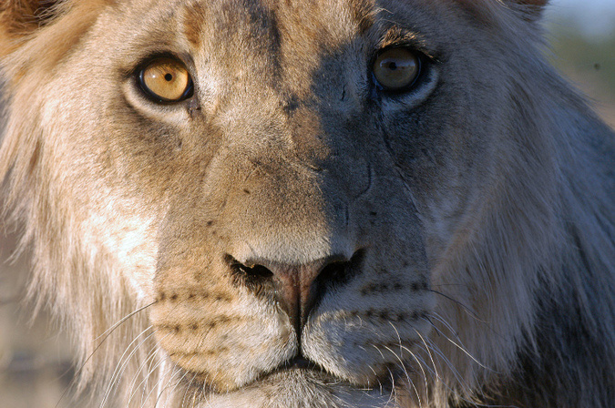 A stunning young male lion in the Kgalagadi Transfrontier Park