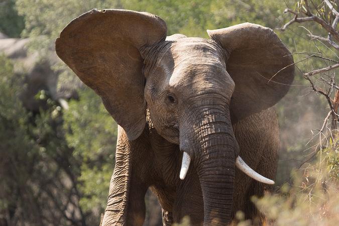 An African savannah elephant (Loxodonta africana)