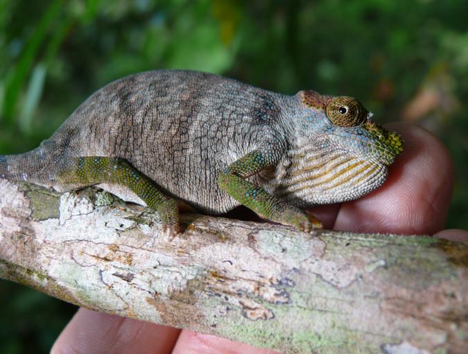 Magombera chameleon © Andrew Marshall, wildlife