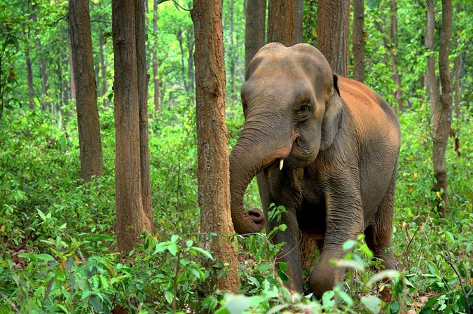 Asian elephant (Elephas maximus) in a forest