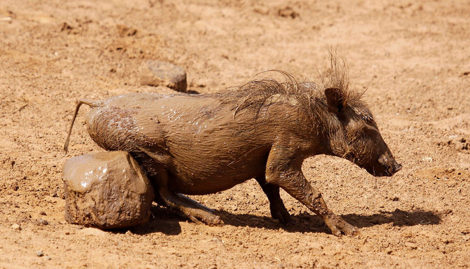 A muddy piglet relieving an itch
