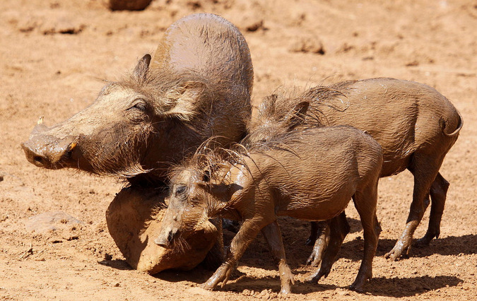 A warthog and its young using a rock as a scratching pos