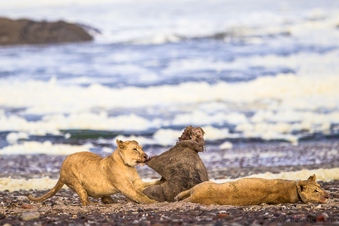 Lioness feeding on Cape fur seal