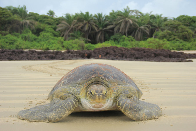 An adult green turtle © University of Exeter