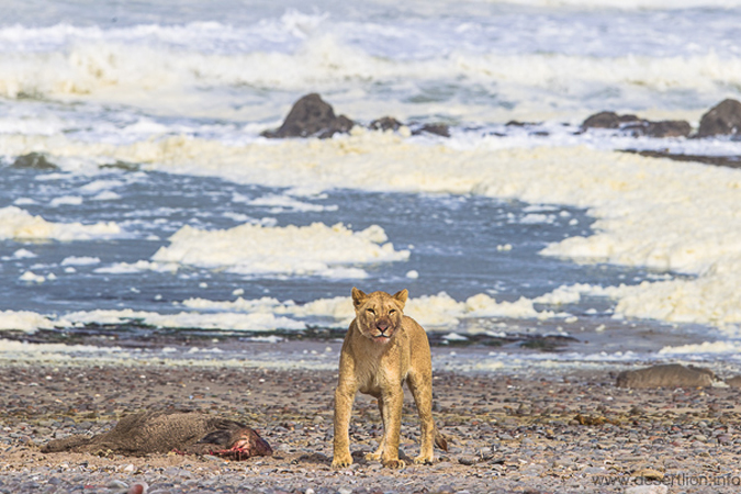 Lioness with a Cape fur seal in Namibia