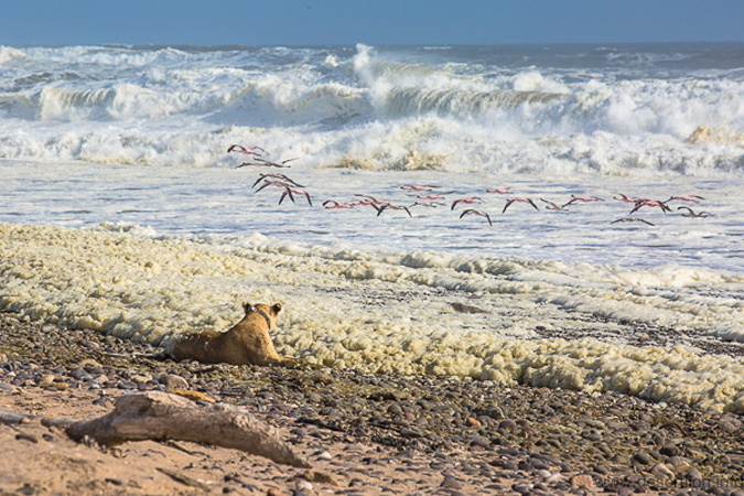 A lioness on the lookout for prey along the coastline