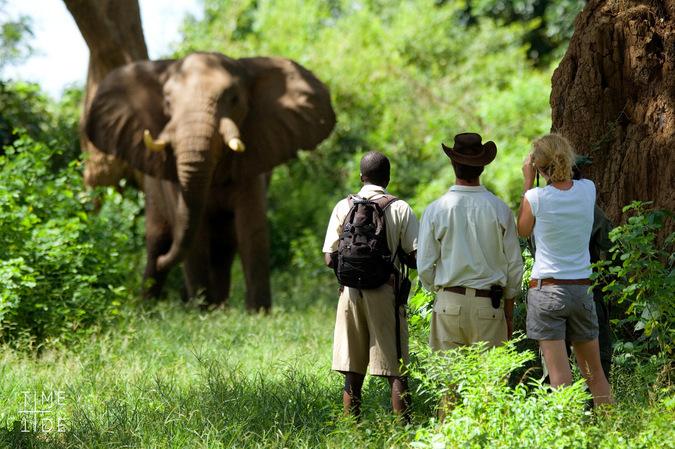 Walking safari guests watching an elephant, Zambia