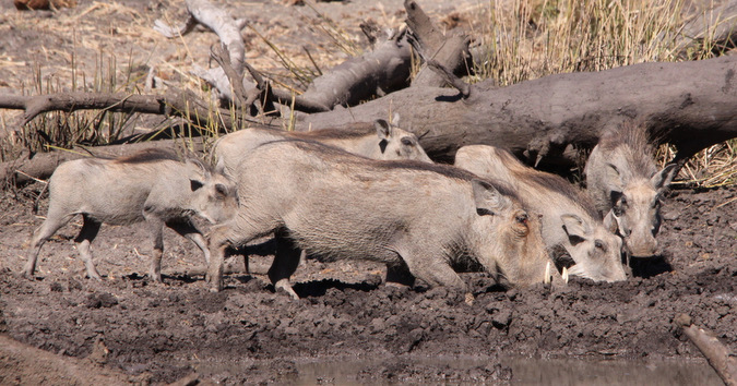 A sounder at a muddy waterhole drinking