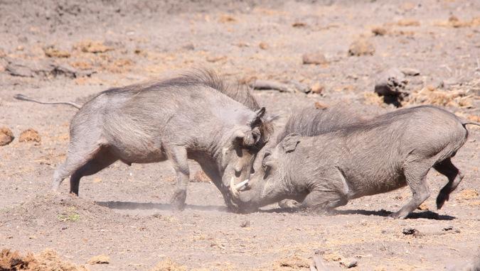 Two warthogs clashing