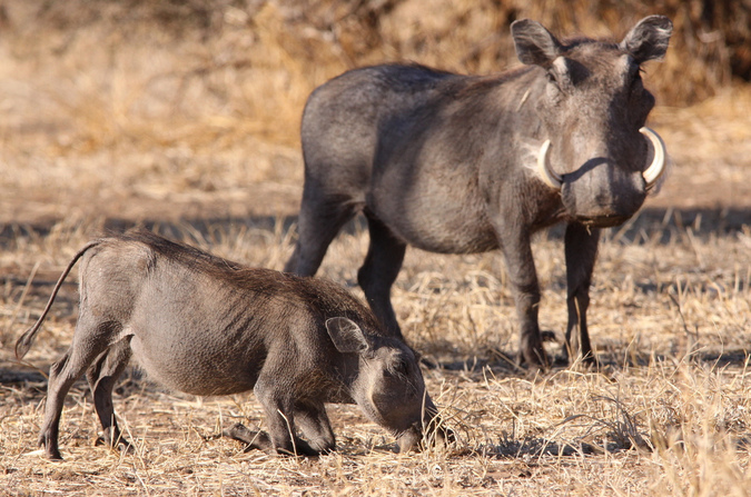 An adult and juvenile warthog