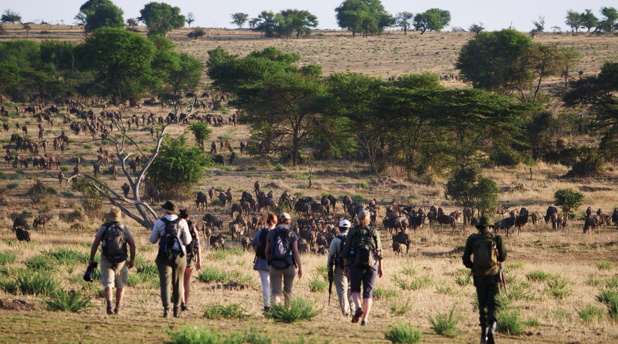 Walking safari guests approaching herd of wildebeests in Serengeti