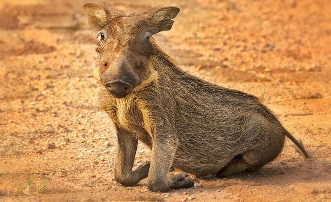 A warthog piglet 'kneeling' on its wrists